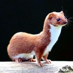 281px-Mustela_nivalis_-British_Wildlife_Centre-4
