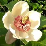 362px-Magnolia_wieseneri