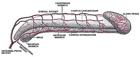 Prakticky celý penis je pretkaný cievami adrobnými komôrkami (zdroj)