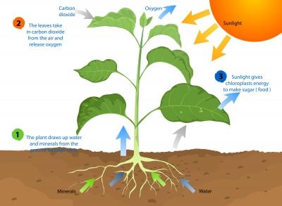 Rozdiel medzi chlorofylom a chloroplastom