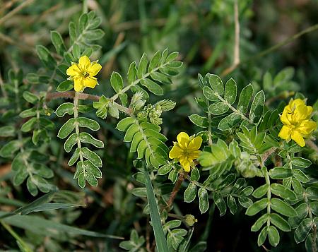Tribulus terrestris – najčastejšia zložka doplnkov výživy pre podporu erekcie. Zdroj obrázku